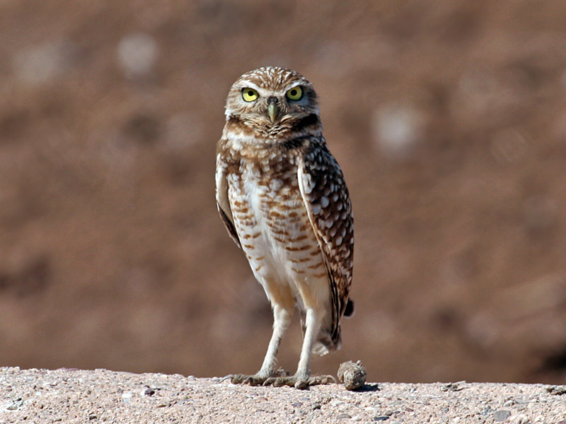 IMG_4447 Burrowing Owl.jpg