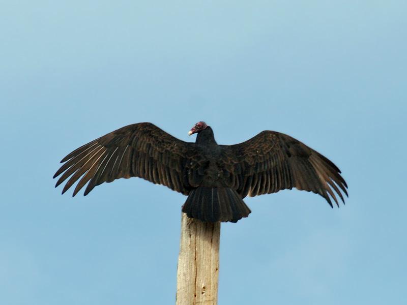 IMG_5117 Turkey Vulture.jpg
