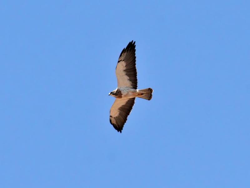 IMG_5502 Swainsons Hawk.jpg