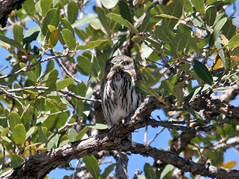 IMG_5947 Northern Pygmy Owl.jpg