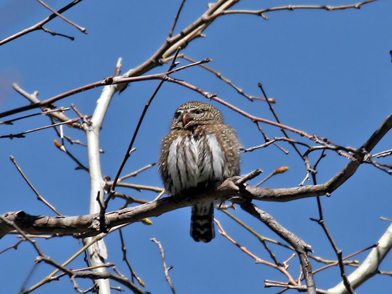 IMG_6105 Northern Pygmy Owl.jpg
