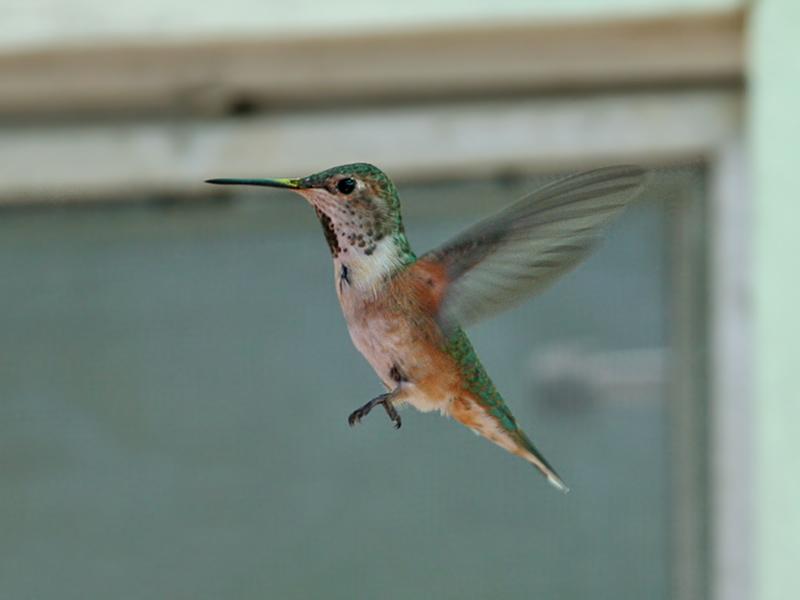 IMG_6681 Rufous Hummingbird.jpg