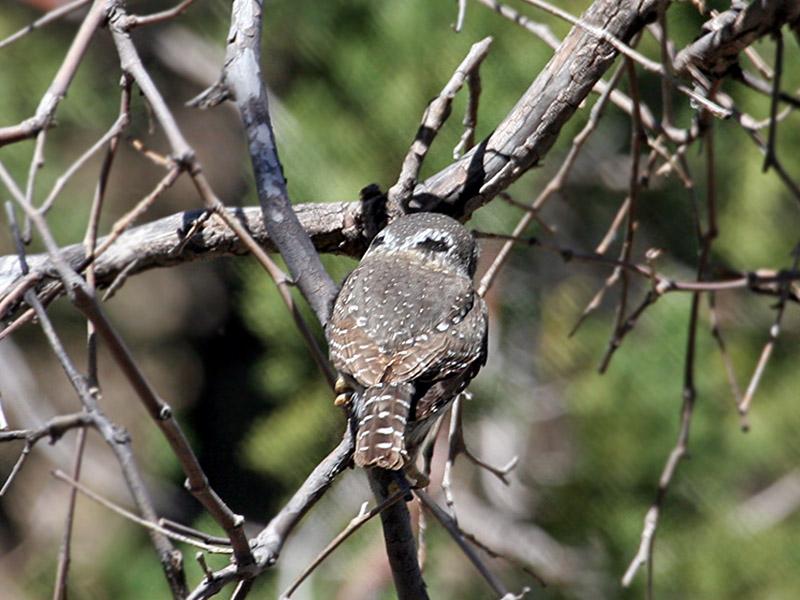 IMG_5886 Northern Pygmy Owl.jpg
