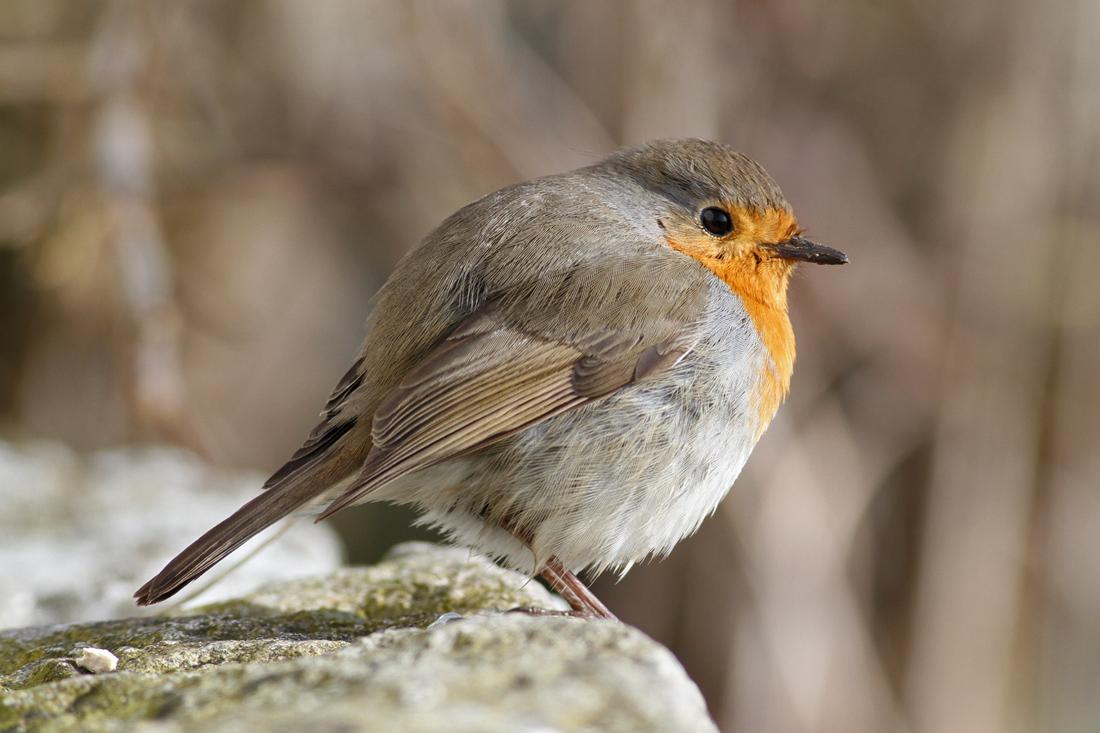 European Robin (European Robin) - rödhake
