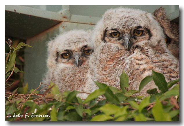 Great Horned Owl, Chicks
