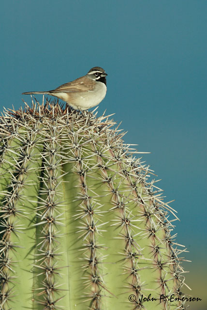 Black-Throat Sparrow