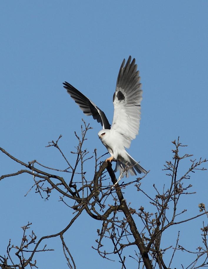 White-tail Kite