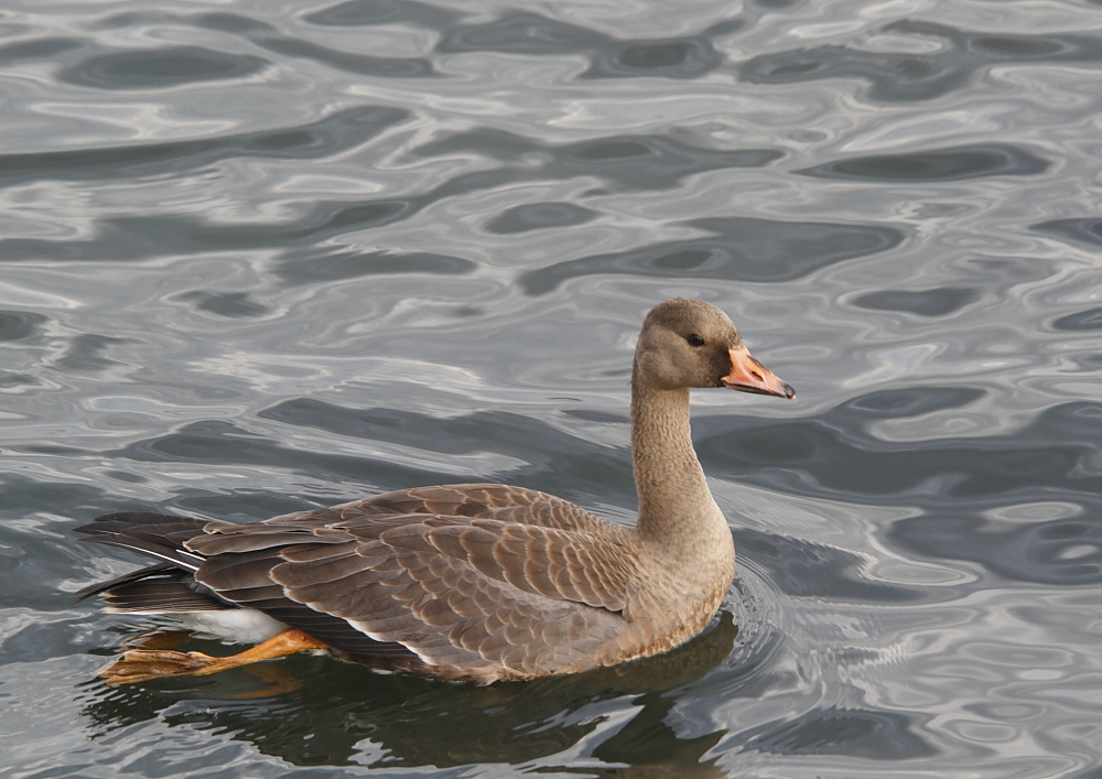 Greater White-front Goose