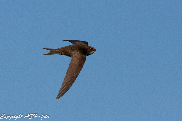 Common Swift - Mursejler - Apus apus