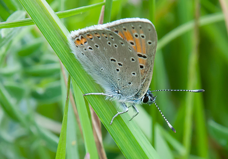 Purple-edged copper - Violetrandet Ildfug - Lycaena hippothoe