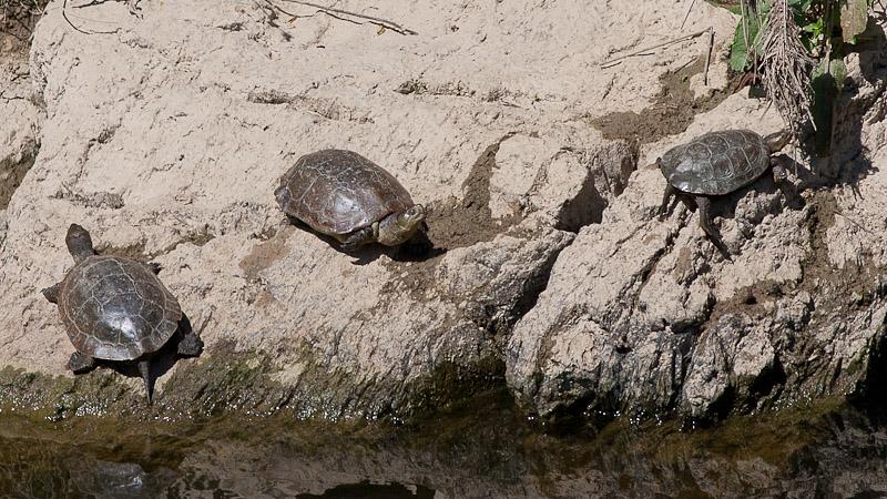 Stripe-necked terrapin -  Maurisk Sumpskildpadde - Mauremys caspica