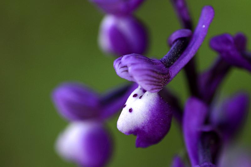 Orchide cornuta (Orchis longicornu)