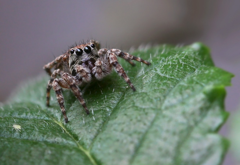 IMG_7648.Jumping.spider.13.7.2010.jpg