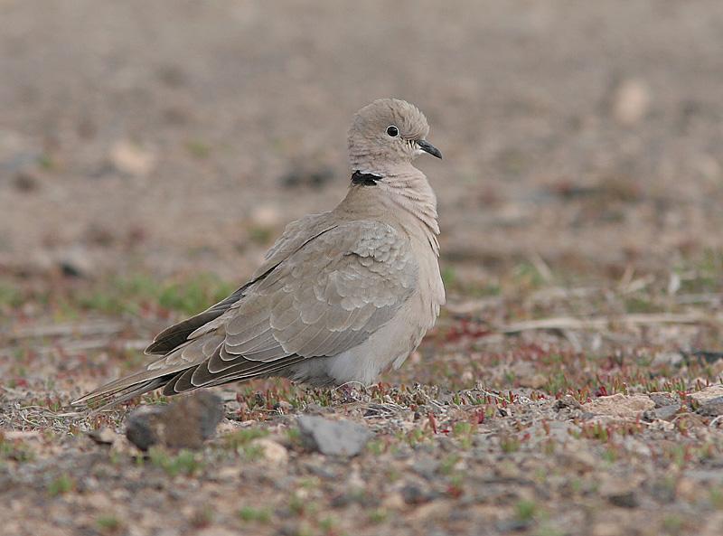 Eurasian Collared Dove, Turkduva, Streptopelia decaocto