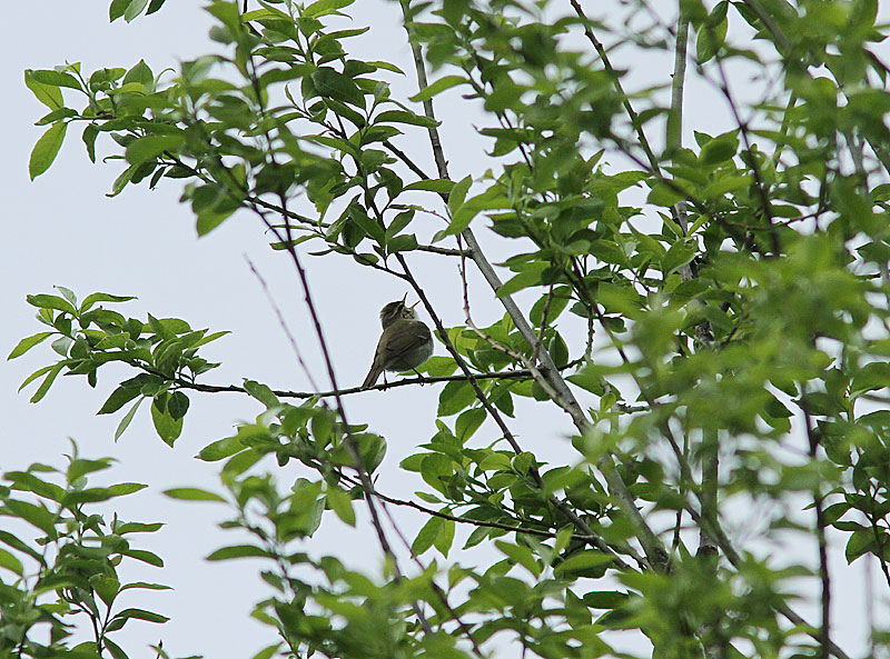 Greenish Warbler, Lundsangare, Phylloscopus trochiloides