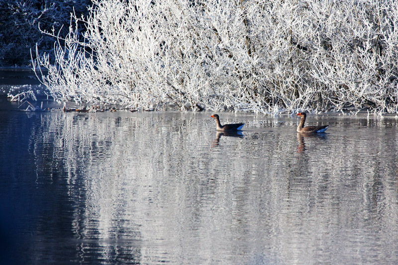Wary Greylags