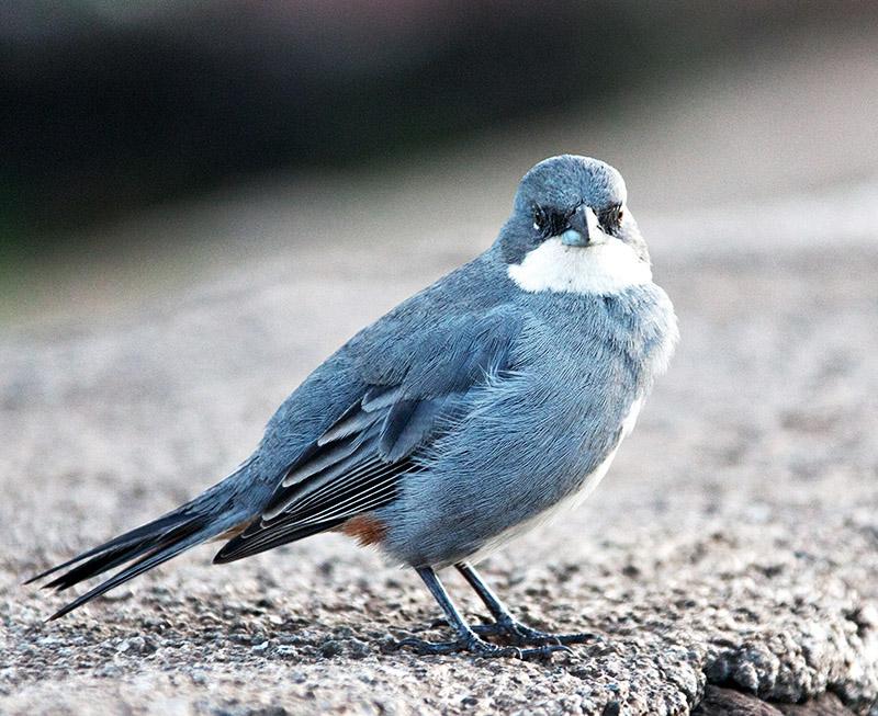 Diuca Finch (Diuca diuca)