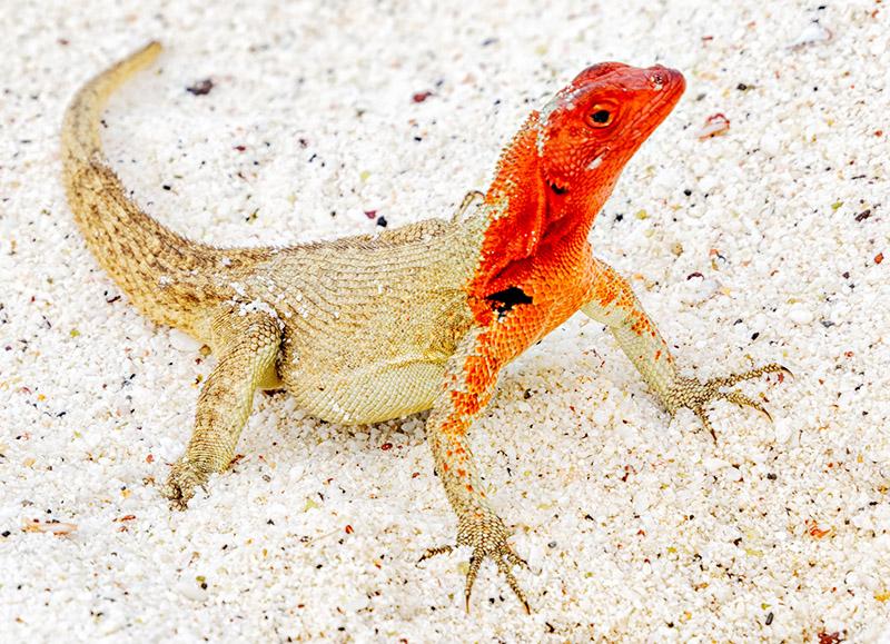 Española Lava Lizard  (Microlophus delanonis) Female