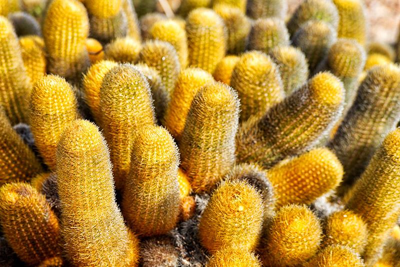 Lava Cactus (Brachycereus nesioticus)