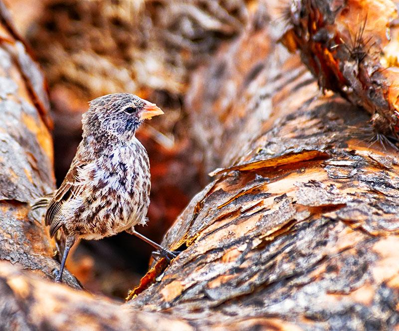 Darwins Finch