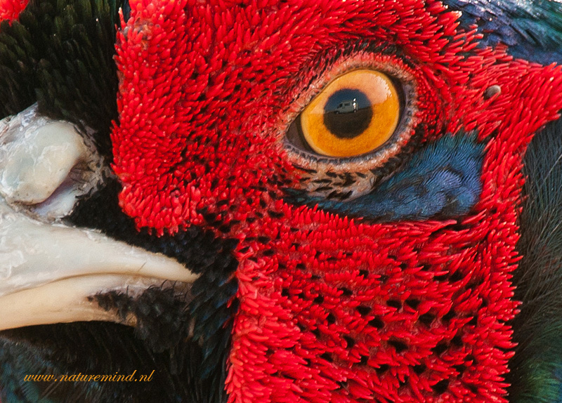 fazant - pheasant - PSLR-2411.jpg