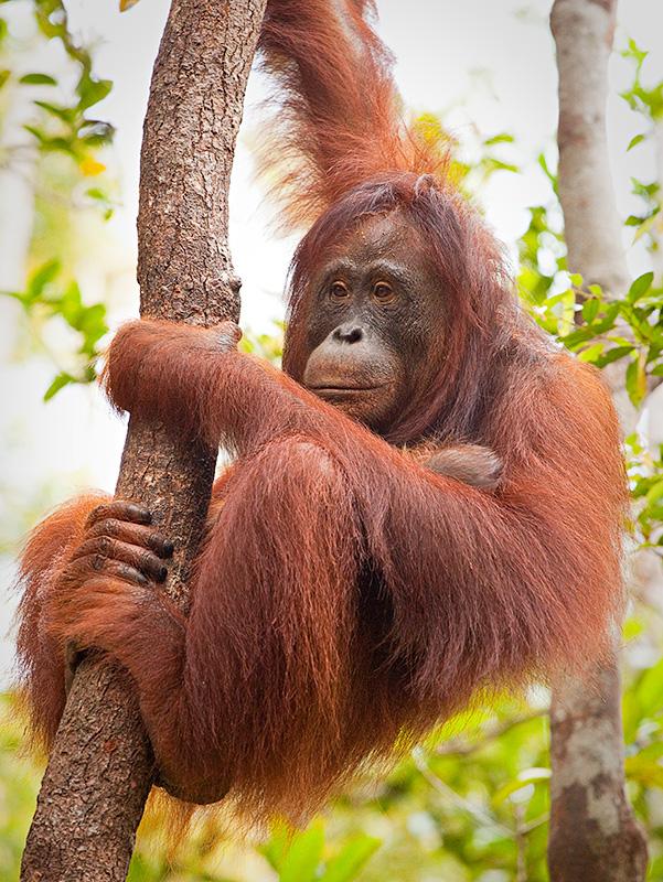 Orangutan - hanging in my tree
