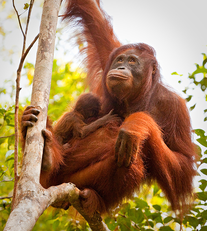 Orangutan - mother and baby in tree