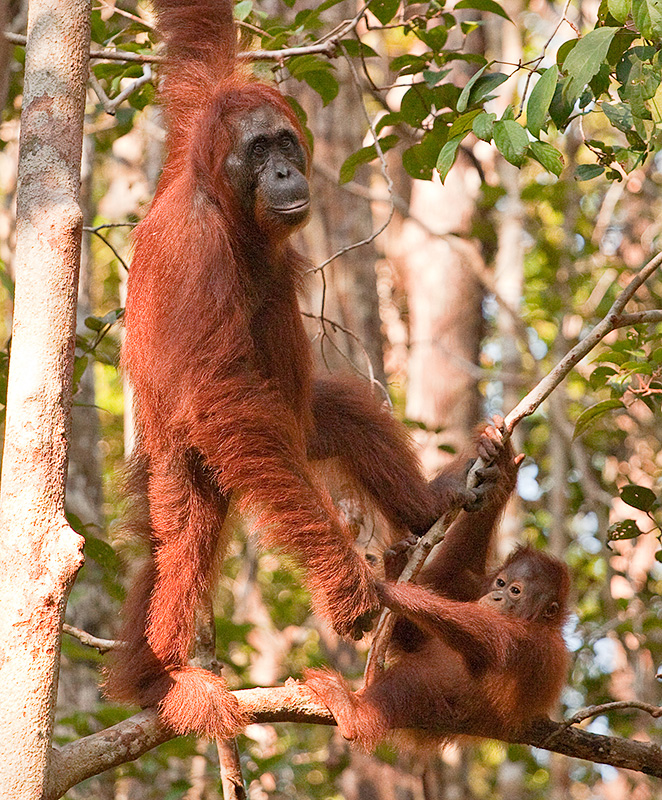 Orangutan and baby holding hands