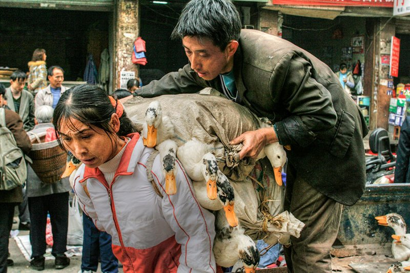 China taking ducks to market