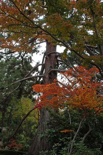 Giant Redwood and Orange Leaves