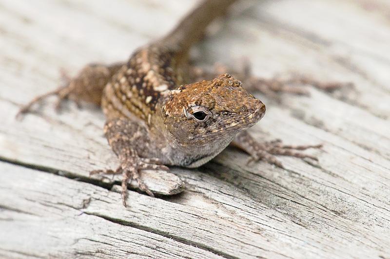 Lido Lizard