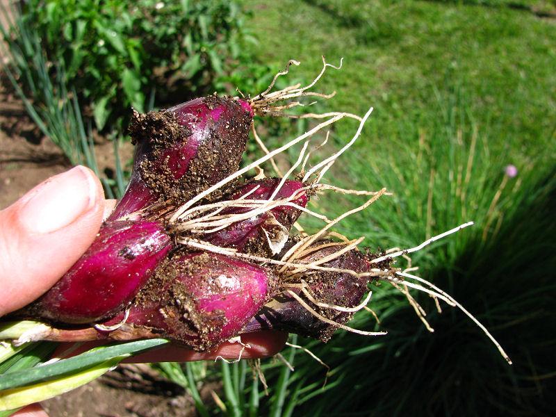 1Thinning Onions.jpg