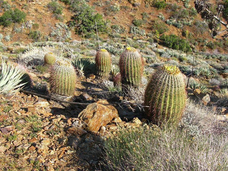 1barrel cacti.jpg
