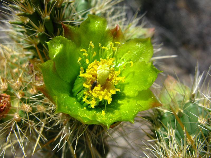 1Cholla Blossom.jpg