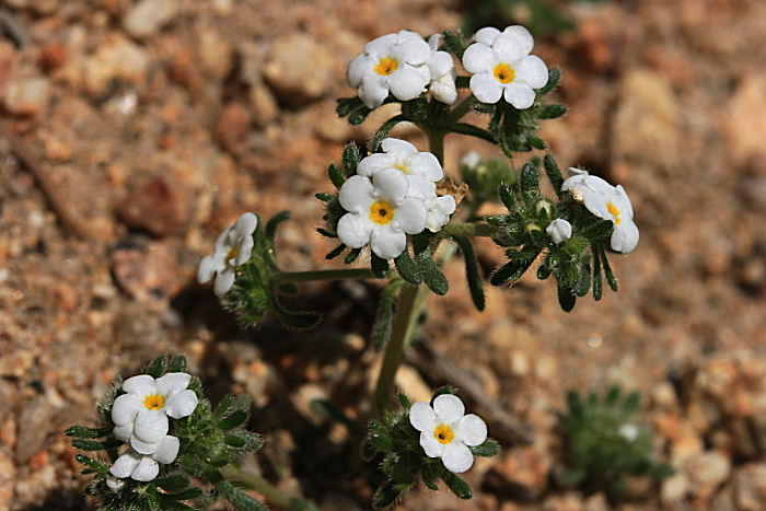 Tiny Desert Blossoms