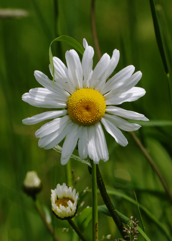 Wildflower reserve by Bayfield Hall, Norfolk