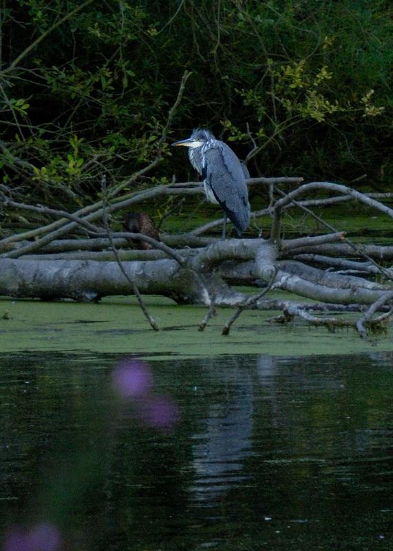 herons suppertime