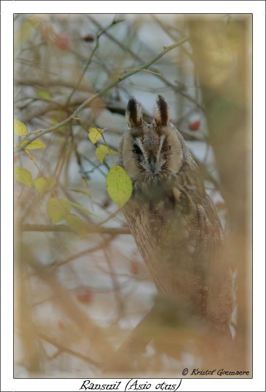 long eared owl / ransuil