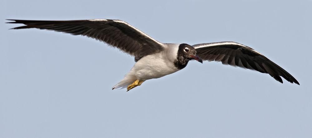 White-eyed Gull (Vitögd mås) Larus leucophthalmus