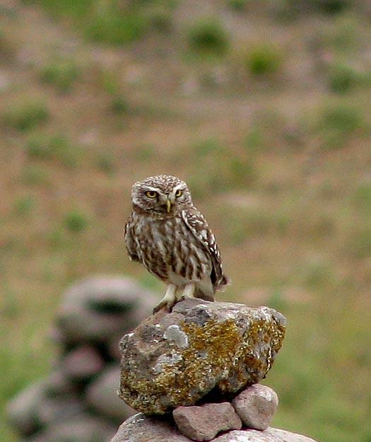 Little Owl (Minerva uggla) Athene noctua