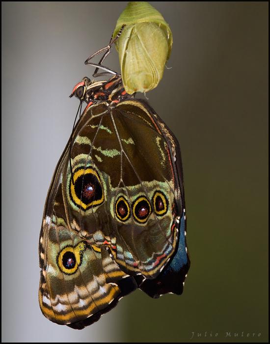 Blue Morpho Butterfly at Mariposas de Mindo