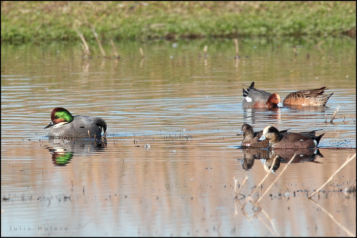 Falcated Duck and Eurasian Wigeon