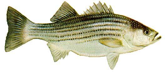 LBF_Striped_Bass.jpg
