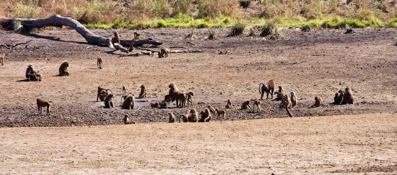 Brown Baboons