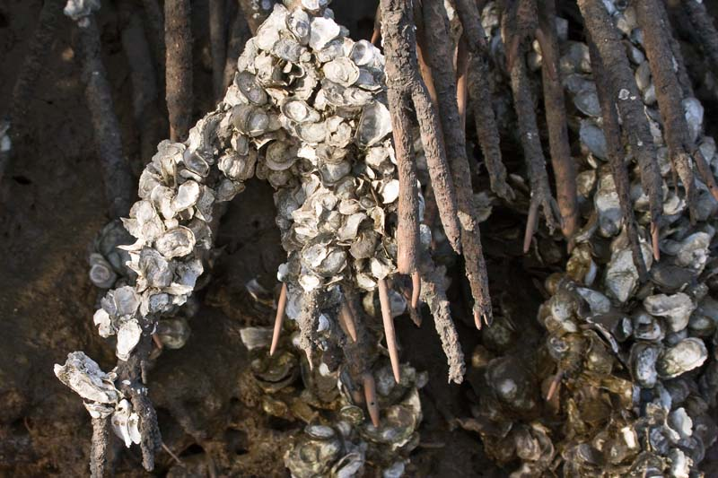 Oyster Shells on Mangrove Roots