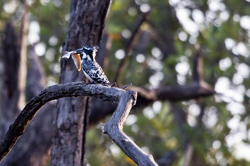 Pied Kingfisher with Dinner