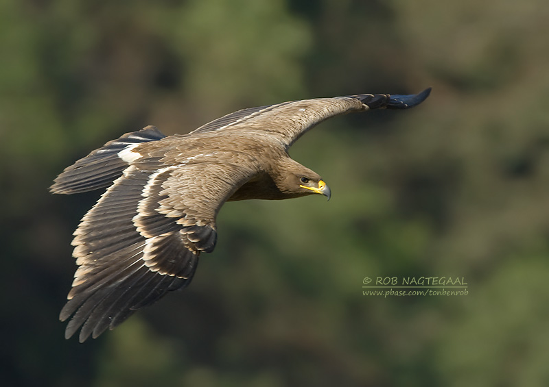 Steppearend - Steppe Eagle - Aquila nipalensis