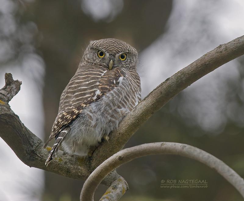 Koekoeksdwerguil - Asian Barred Owlet - Glaucidium cuculoides