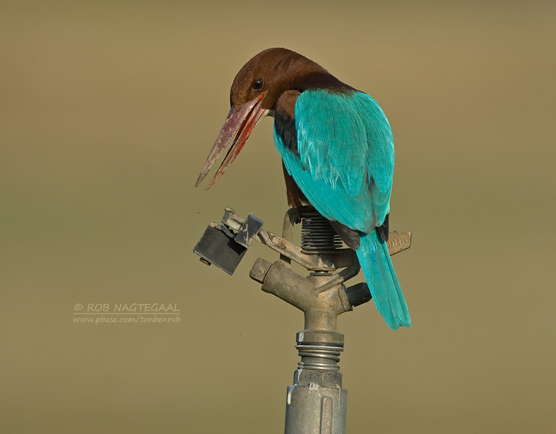 Smyrna ijsvogel - White-throated Kingfisher - Halcyon smyrmensis