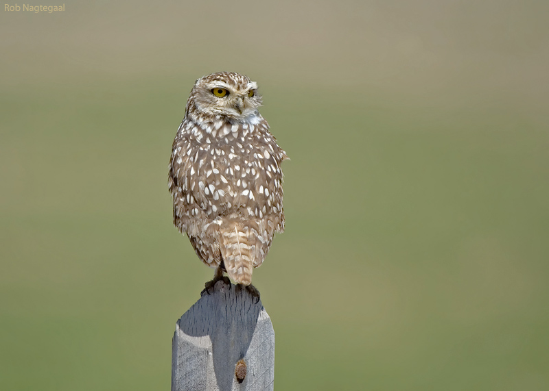 Holenuil - Burrowing Owl - Athene cunicularia nanodes